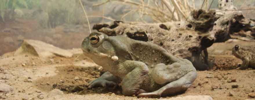 Bufo Alvarius: the spiritual medicine of our ancestors
