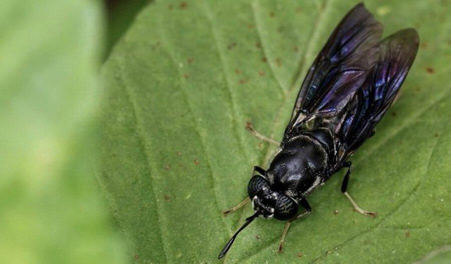grasa de insectos
