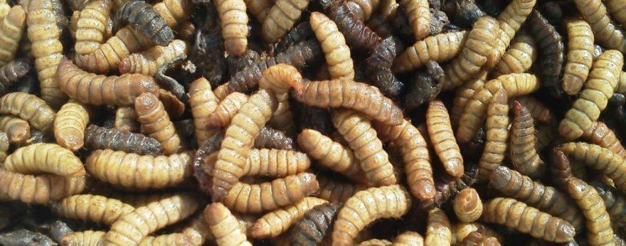 Grasa de insectos podría sustituir a la mantequilla