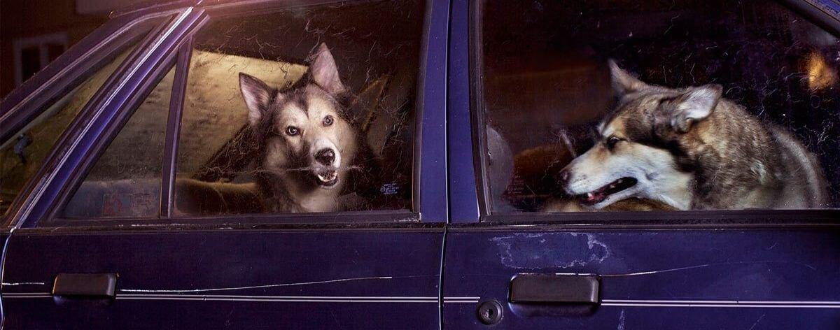 fotografía de dos perros Husky
