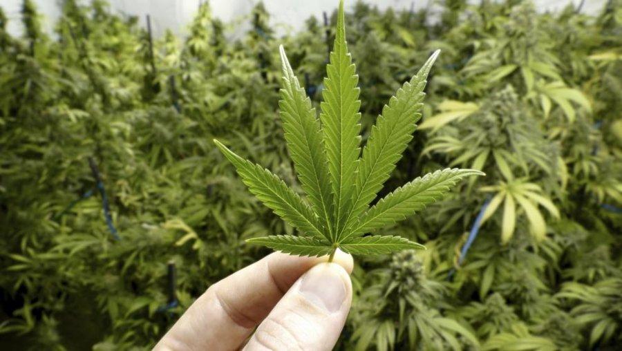 Tipos de cannabis indica, sativa y rudelaris
