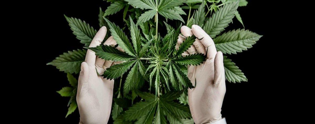 Tipos de cannabis para conocer lo que nos fumamos