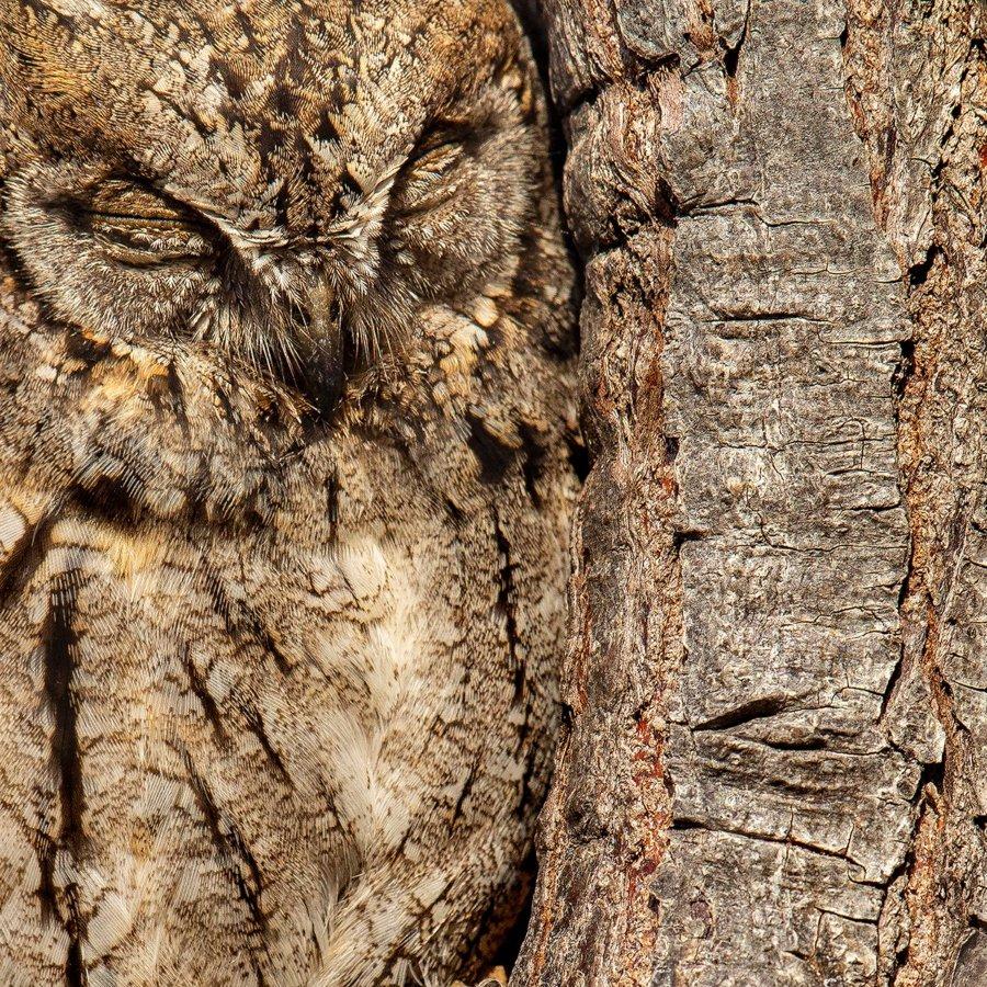 """Moshe Cohen / Fotógrafo de aves del año. """"Camuflaje perfecto"""", dice Otus, el búho de Eurasia. Kibbutz Hatzor, Israel. Categoría: Atención al detalle, ganador del premio de oro"""