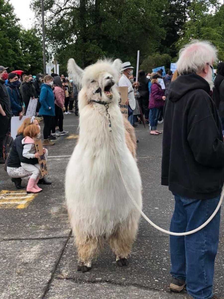 Caesar the no drama llama attended our protest today