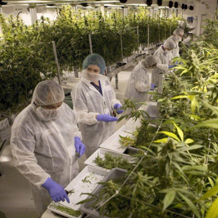 personas trabajando en el cultivo de la planta