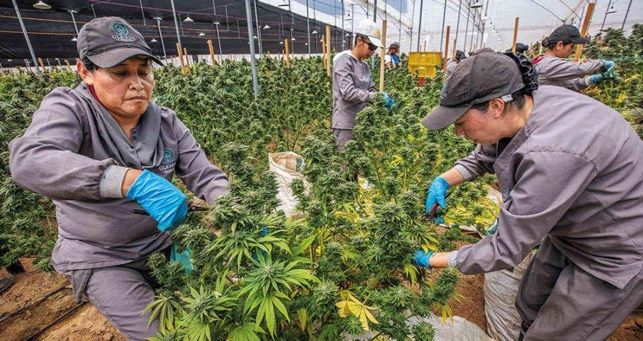 Mujeres trabajando en cultivo de marihuana