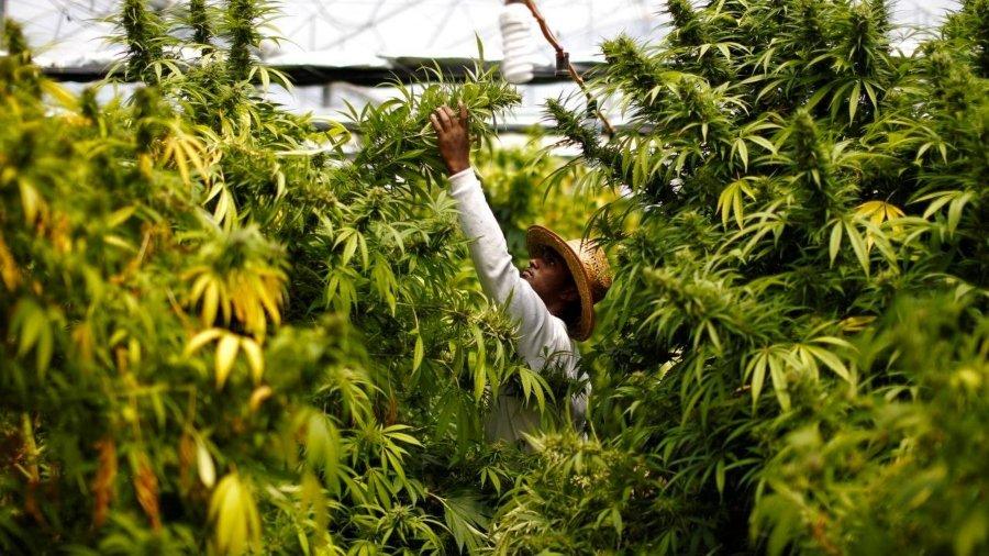 La marihuana será despenalizada en México